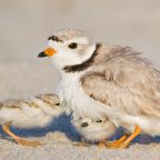 Plover Chicks at Montrose Beach